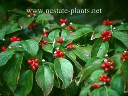A dogwood primer one of the most popular tree in the south cornus florida native flowering dogwood has glossy green leaves and red fruit in the fall which birds love sciox Image collections