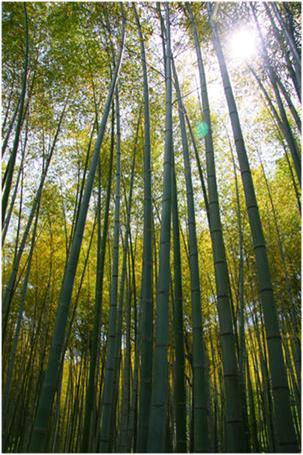 the pleasures and pains of growing bamboo - Growing Bamboo